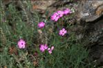 Photo 2/4 Dianthus graniticus Jord.
