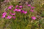 Photo 4/4 Dianthus pavonius Tausch