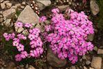 Photo 3/4 Dianthus pavonius Tausch