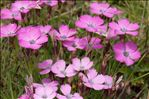 Dianthus pavonius Tausch