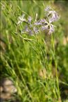 Photo 1/6 Dianthus superbus L.