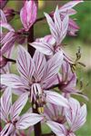 Dictamnus albus L.