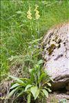 Photo 7/7 Digitalis grandiflora Mill.