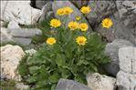 Doronicum grandiflorum Lam.