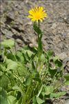 Photo 1/4 Doronicum grandiflorum Lam.
