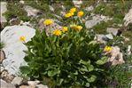 Photo 4/4 Doronicum grandiflorum Lam.