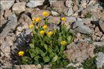 Photo 3/4 Doronicum grandiflorum Lam.