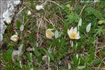 Photo 3/6 Dryas octopetala L.