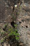 Photo 4/9 Drymocallis rupestris (L.) Soják subsp. rupestris