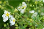 Drymocallis rupestris (L.) Soják subsp. rupestris