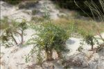 Echinophora spinosa L.