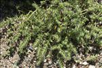Echium arenarium Guss.