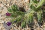 Photo 5/8 Echium arenarium Guss.