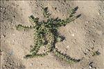 Photo 7/8 Echium arenarium Guss.