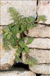 Echium calycinum Viv.