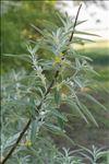 Photo 1/1 Elaeagnus angustifolia L.