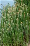 Photo 1/3 Carex riparia Curtis