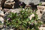 Epilobium anagallidifolium Lam.