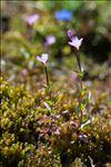 Photo 1/4 Epilobium anagallidifolium Lam.