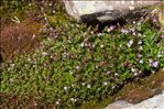 Photo 3/4 Epilobium anagallidifolium Lam.