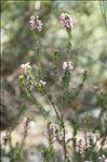 Erica multiflora L.