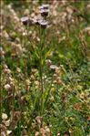 Photo 1/1 Erigeron alpinus L.