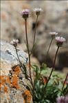 Erigeron glabratus Hoppe & Hornsch. ex Bluff & Fingerh.