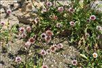 Photo 1/1 Erigeron glabratus Hoppe & Hornsch. ex Bluff & Fingerh.