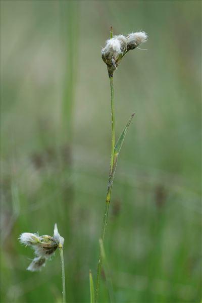Eriophorum gracile Koch ex Roth