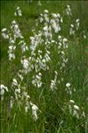 Photo 1/2 Eriophorum latifolium Hoppe