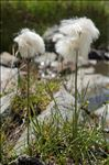 Photo 1/11 Eriophorum scheuchzeri Hoppe