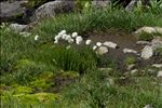 Photo 10/11 Eriophorum scheuchzeri Hoppe