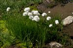 Photo 9/11 Eriophorum scheuchzeri Hoppe