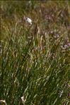 Photo 1/1 Eriophorum vaginatum L.