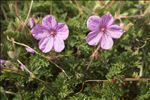 Erodium foetidum (L.) L'Hér.