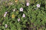 Photo 6/11 Erodium foetidum (L.) L'Hér.
