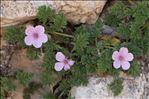Photo 5/11 Erodium foetidum (L.) L'Hér.