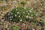 Photo 4/11 Erodium foetidum (L.) L'Hér.