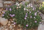 Photo 1/11 Erodium foetidum (L.) L'Hér.