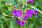 Photo 7/8 Erodium manescavii Coss.