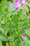 Photo 6/8 Erodium manescavii Coss.