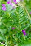 Photo 5/8 Erodium manescavii Coss.