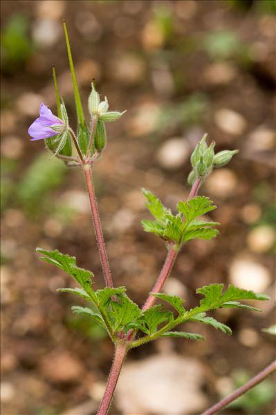 Erodium moschatum (L.) L'Hér.