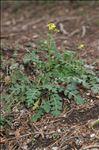 Erucastrum nasturtiifolium (Poir.) O.E.Schulz