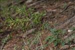 Erucastrum nasturtiifolium subsp. sudrei Vivant