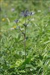 Photo 12/14 Eryngium alpinum L.
