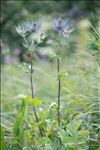 Photo 11/14 Eryngium alpinum L.