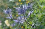 Photo 3/14 Eryngium alpinum L.