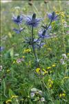 Photo 2/14 Eryngium alpinum L.