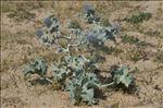 Photo 6/14 Eryngium maritimum L.